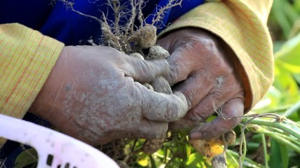 Close up of peanut in farmer hand, working in field.
