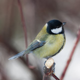 Parus major closeup