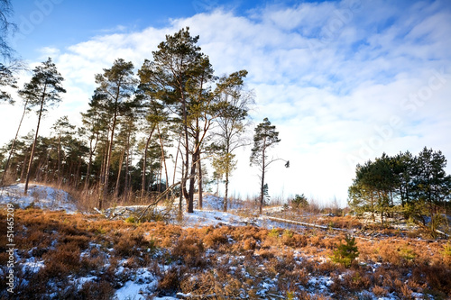 coniferous forest in winter