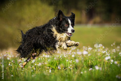 Mini Australian Shepherd in Bewegung