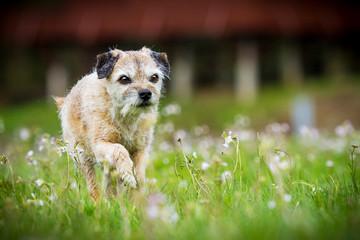 Border Terrier in Bewegung