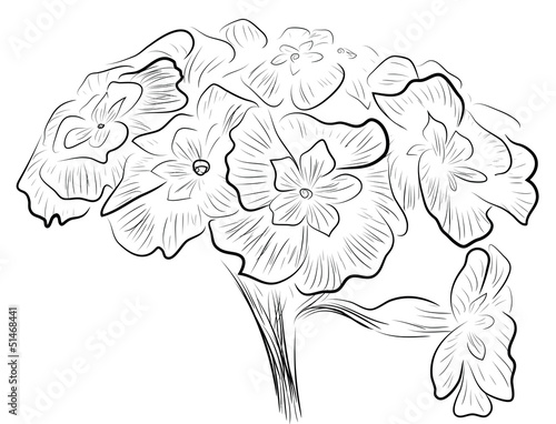 Sketch of primula flowers