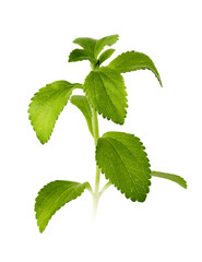 stevia leaves isolated