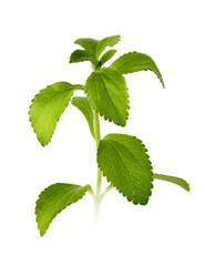 stevia leaves isolated