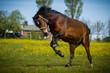 Freudensprung eines Ponys