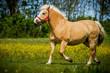 Pony in Bewegung
