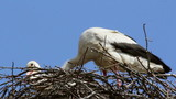 Storks in the nest ...(White stork)