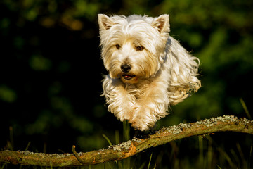 West Highland White Terrier im Sprung