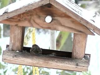 Spatzen im Vogelhaus