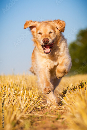 Golden Retriever in Action