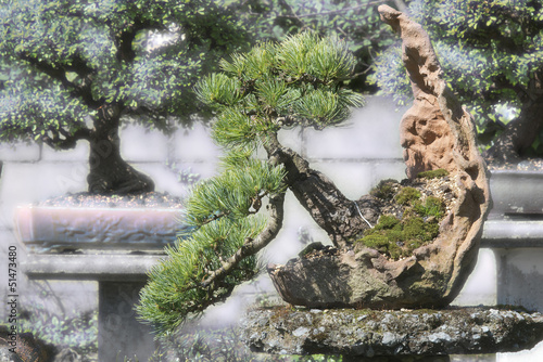 bonsai  spruce in the garden, picea