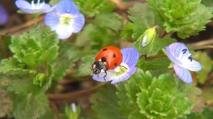 Ladybug Flying from Flower, Ladybird, Bug, Macro