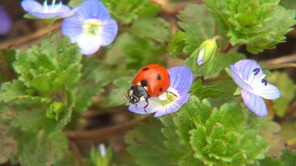 Ladybug Flying from Flower, Ladybird, Bug, Macro