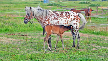 Spotty mare feeds the foal on a pasture