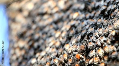 close up of honey bees in a swarm make a hive background.
