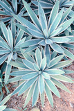 Fototapety Sharp pointed agave plant leaves