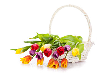 Basket of  Tulips isolated on white background.  Bouquet of tuli