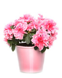 Fresh blooming pink azalea in  pot on white background