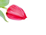 Rote Tulpe