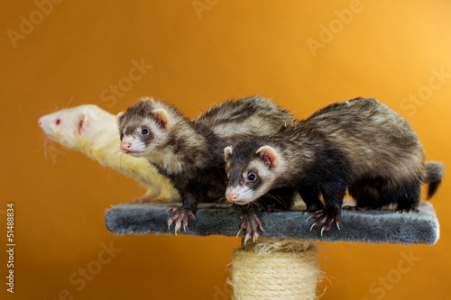3 Frettchen