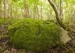 Rock with moss in Wildwood, Borga hage, Öland
