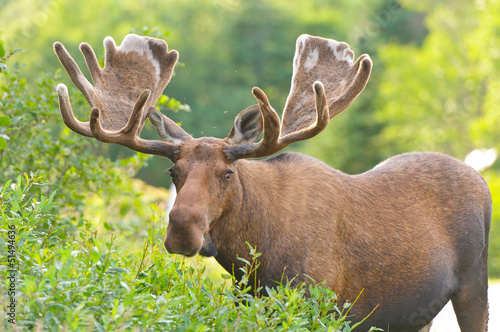 Moose in Velvet feeding in the wilderness