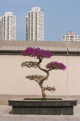 bougainvillea bonsai in Sha Tin