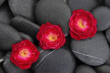 Three ranunculus flower on pebbles
