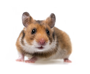 little hamster - white background