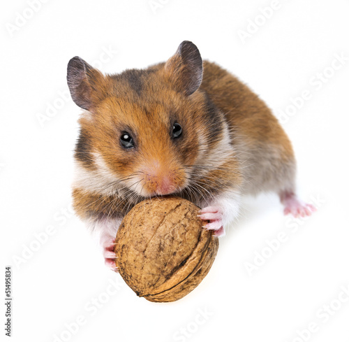 little hamster eating a walnut