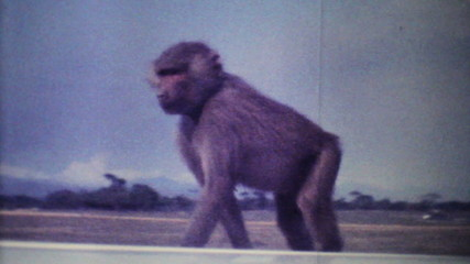 Monkeys Attack Car On Game Reserve-1979 Vintage 8mm film