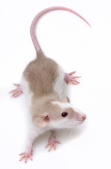 a cute little mouse - white background