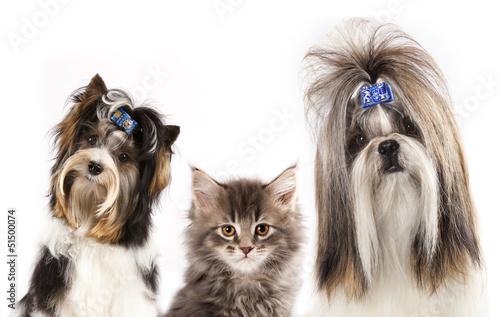dog of breed shih-tzu and  kitten