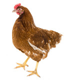 brown hen isolated on a white background