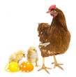 easter eggs and chickens with a hen