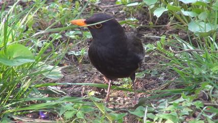 Blackbird in Spring Flowers on Meadow, Closeup