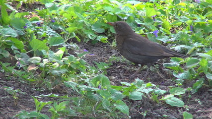 Blackbird in Spring Flowers on Meadow, Closeup