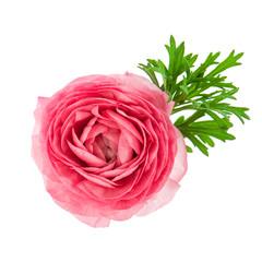 beautiful single flower head of pink ranunculus
