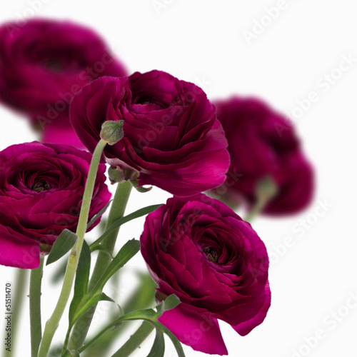 Beautiful isolated roses