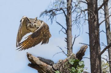 Eurasion Eagle Owl In Flight