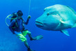 Humphead wrasse with scuba diver