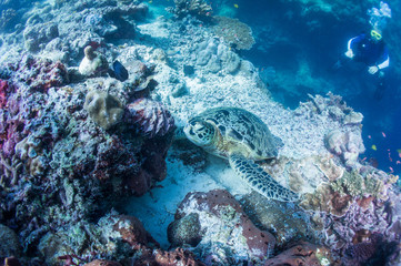 Scuba diver watching sea turtle