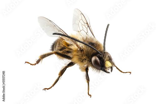 Staande foto Bee Bee species Eucera longicornis common name Solitary miner bee