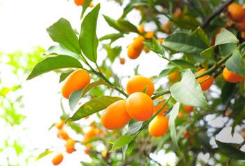 Kumquat Citrus Fruits on Branch