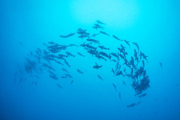 A school of Snappers under water
