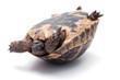 Turtle - 51519087
