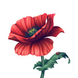 illustration of red poppy flower isolated on white