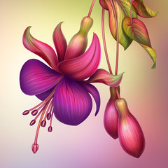 fuchsia flower macro isolated illustration