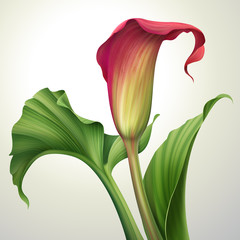 illustration of calla lily flower with leaves isolated