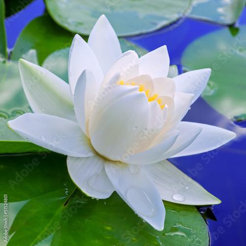 Fotobehang Lotusbloem White lily